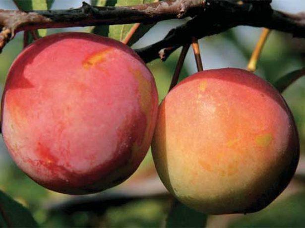 Плоды сливы Скороплодная