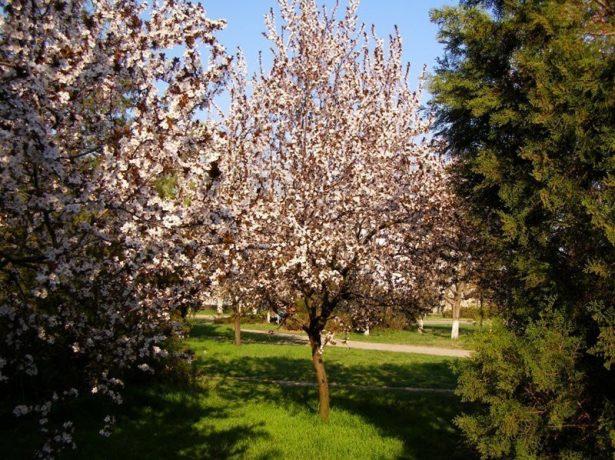 слива скороплодная дерево