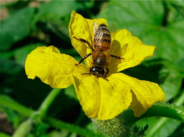Пчела на цветке огурца