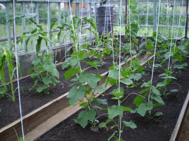 Выращивание сорта огурцов Паратунка