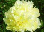 Экзотические жёлтые пионы: лучшие сорта на фото