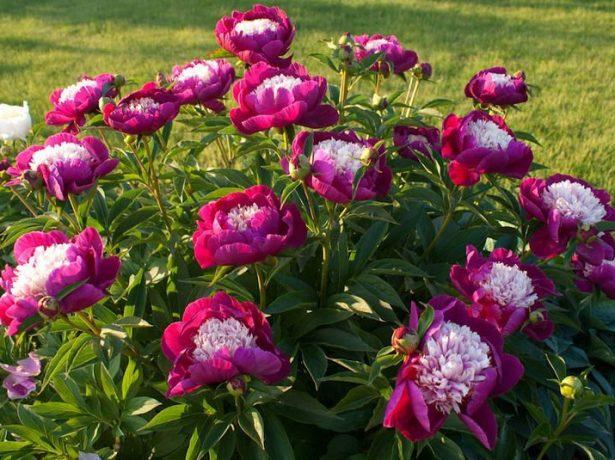 Цветущий куст пиона
