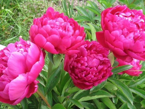 Пион розовидный шаровидный сорт Дикси (Dixie)