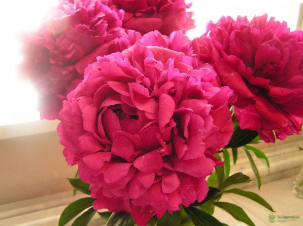 Травянистый махровый розовидный пион сорт Канзас (Kansas)
