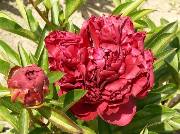 Травянистый махровый розовидный пион сорт Поль М. Вайлд (Paul M.Wild)