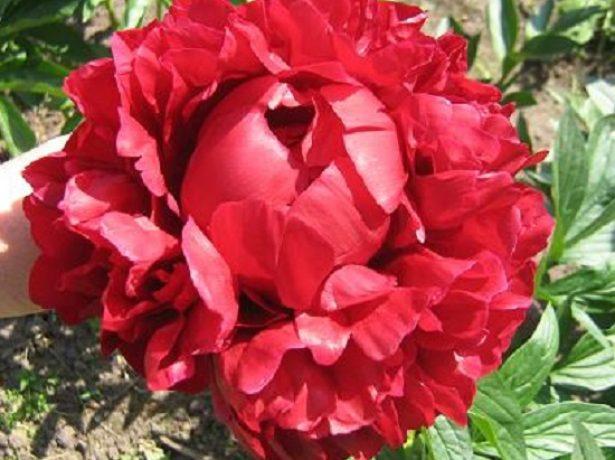 Травянистый махровый розовидный пион сорт Генри Бокстос (Henry Bockstoce)
