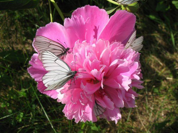Бабочки на пионах