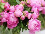 Подкормка пионов — весной, летом,осенью