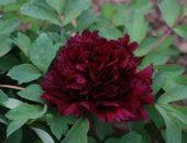 Чёрный пион в саду