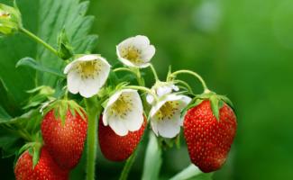 Клубника хорошо цветёт, а завязи мало: причины и решения проблемы