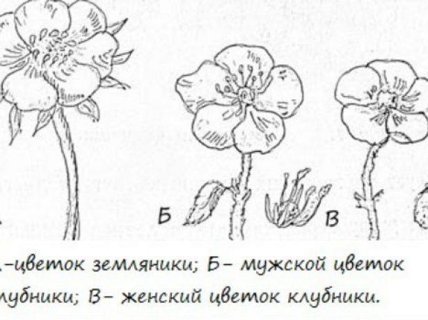 Мужские и женские цветки клубники