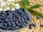 Жимолость на зиму: рецепты вкусных и целебных заготовок