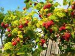 Правильный полив малинника летом — залог хорошего урожая