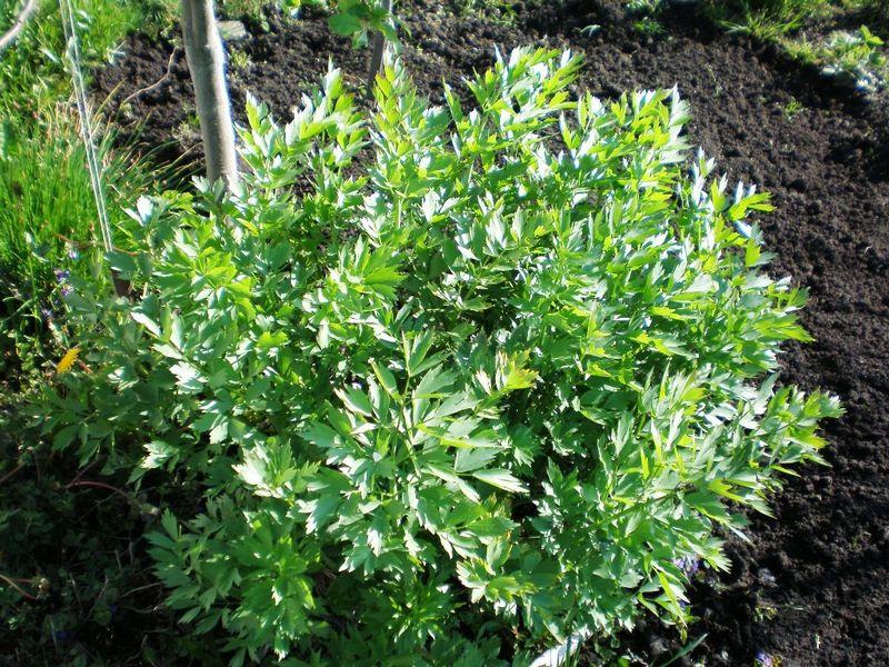 Любисток в огороде: как вырастить и применять со вкусом и пользой