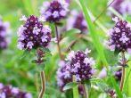 Богородичная трава – чабрец: 5 полезных рецептов, лечебных и кулинарных