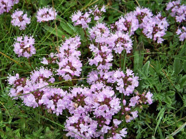 Цветение тимьяна ползучего