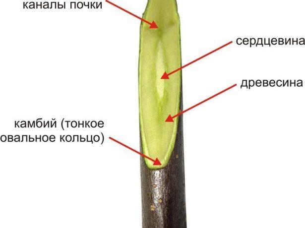 Структура черенка