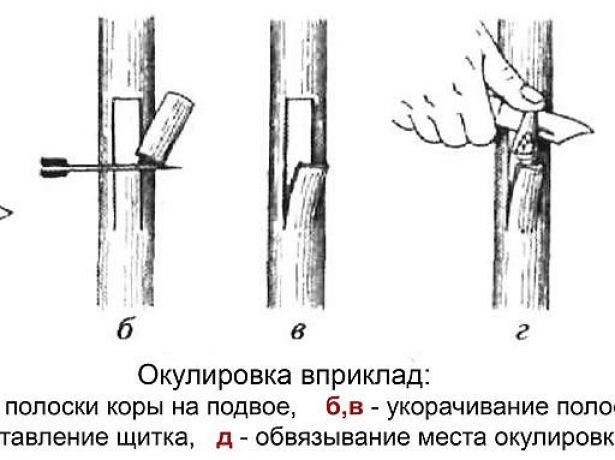 Схема окулировки вприклад