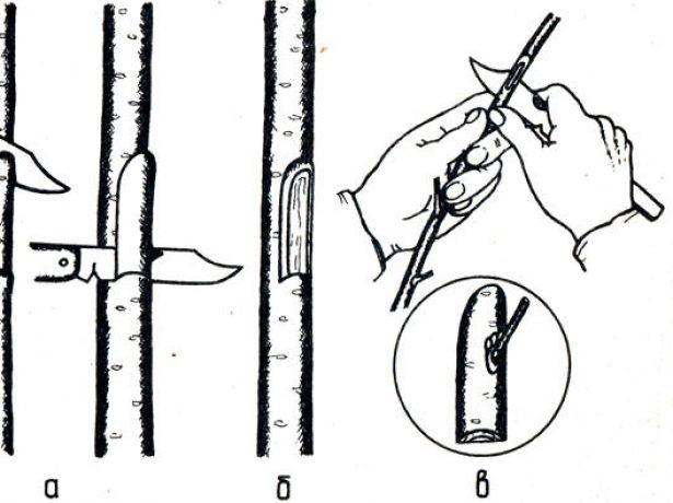 Прививка окулировкой пошагово