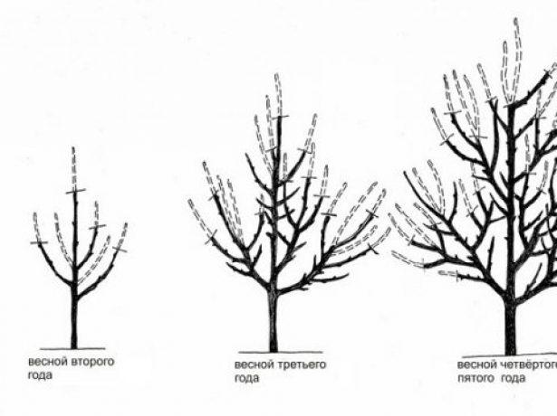 Схема выполнения разреженно-ярусной формировки дерева