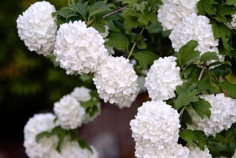 Калина Бульденеж — белоснежная красавица в саду