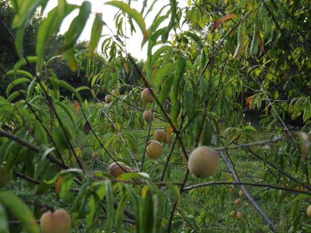 Дикий персик