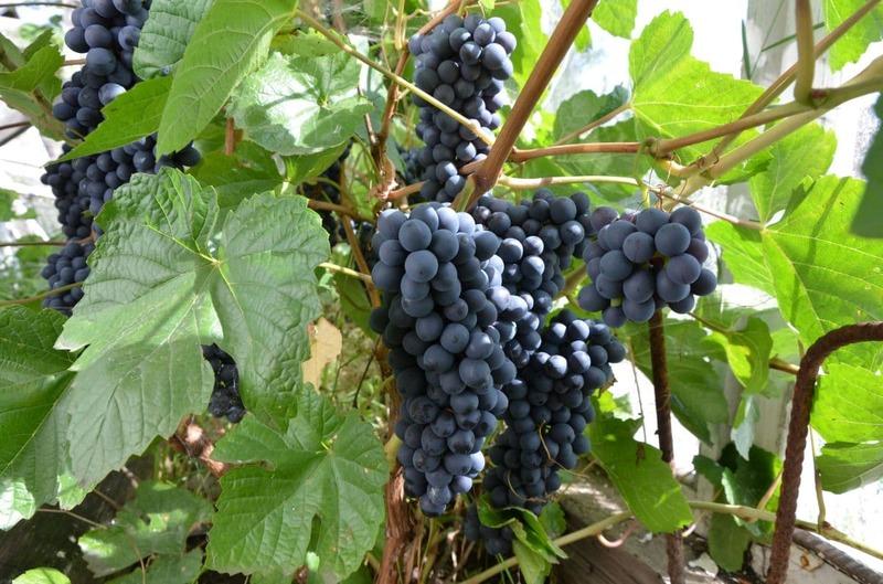 Как не потерять урожай винограда, типичные ошибки ухода в июне — июле