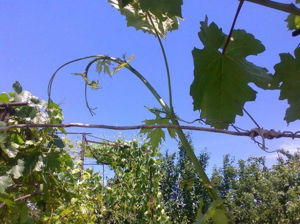 Коронка винограда