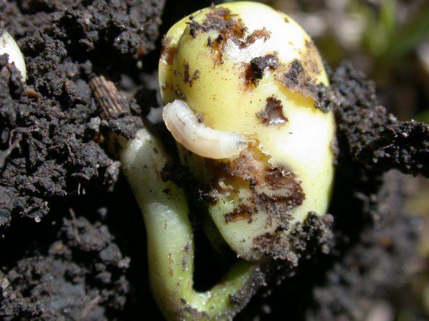 Личинки ростковой мухи