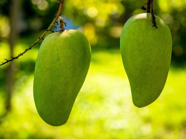 Зелёное манго Raed на ветке