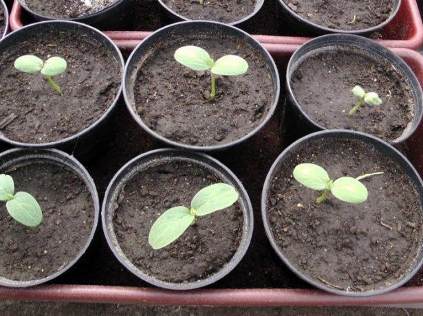 Всходы из семян арбуза