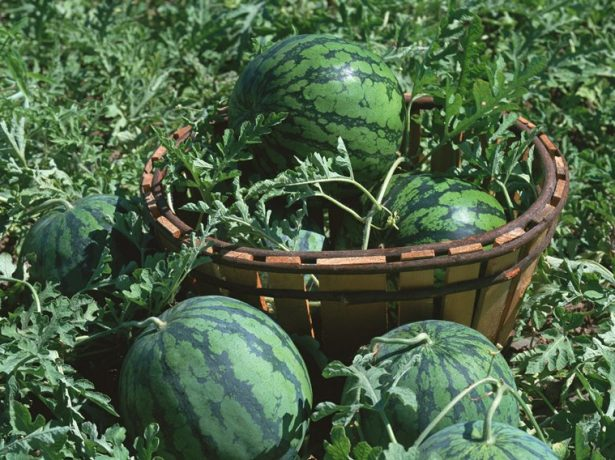 Урожай арбузов