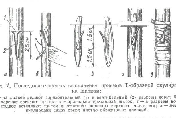 Схемы выполнения Т-образной окулировки