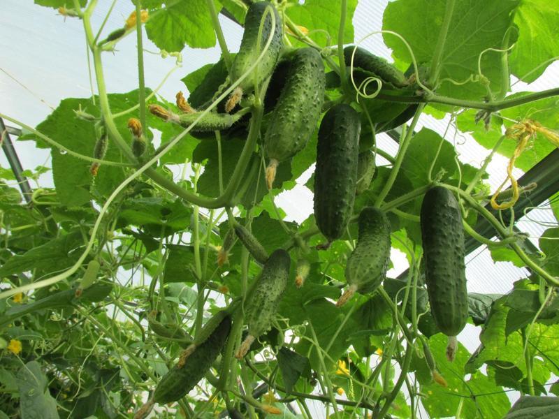 Огурцы без горечи: правда ли, что не горчат все новые сорта
