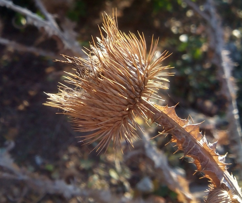 Занозистый вопрос: как избавиться от колючих сорняков