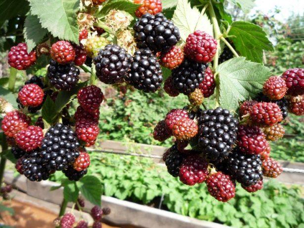 Плоды ежевики