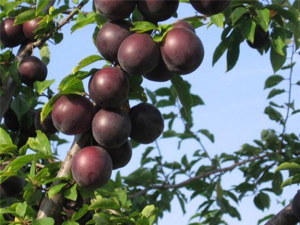 Чёрные абрикосы на ветке