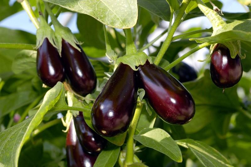 Рацион баклажанов в июле: подкормки для большого урожая