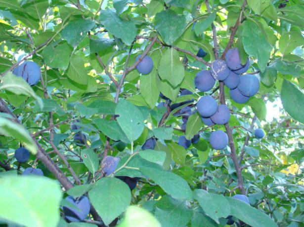 Сорт Яичная синяя