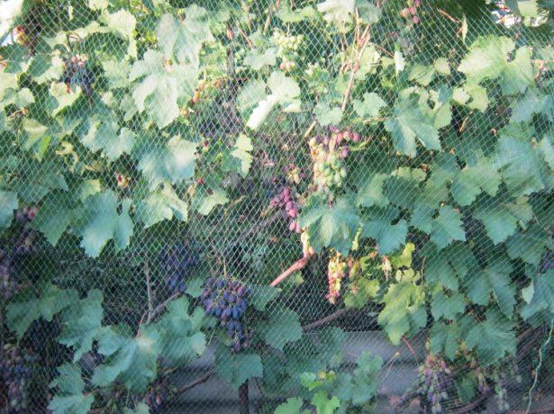 Виноградные лозы под сеткой