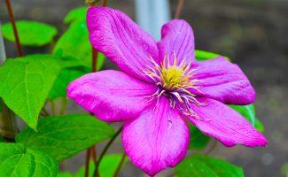 Кустовые клематисы: популярные сорта и советы по уходу