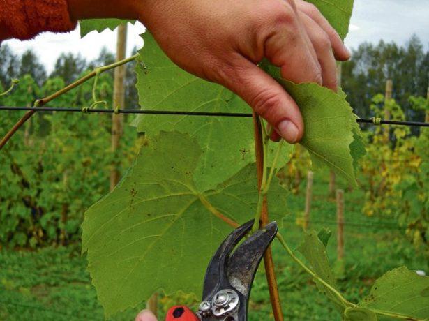 Удаление виноградного пасынка «на пенёк»