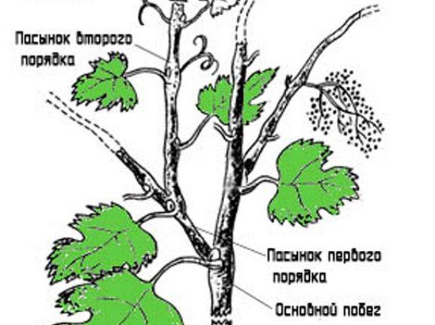 Удаление виноградного пасынка второго порядка (схема)