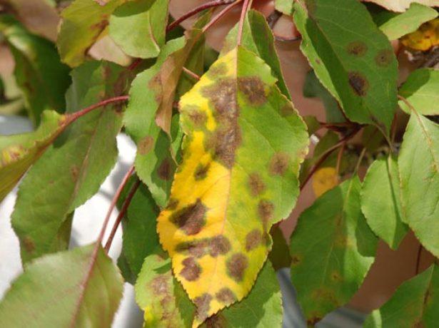 Парша на листьях