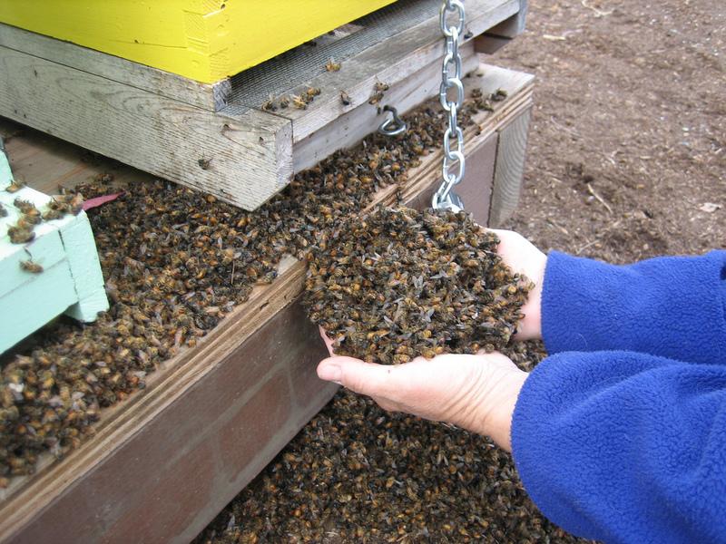 Неравная борьба: массовая гибель пчёл в 2019 году в России