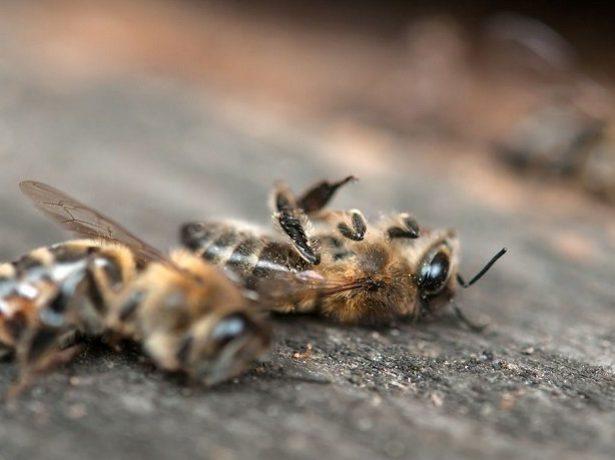 Погибшие пчёлы
