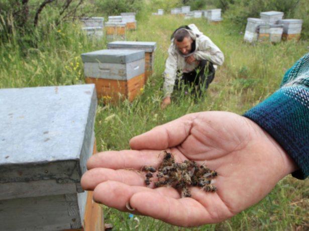 Пчеловоды подсчитывают убытки от массовой гибели пчёл
