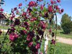 Пурпуреа Плена Элеганс: махровый сорт клематиса, выдержавший проверку временем