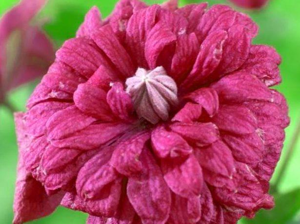Цветок клематиса Пурпуреа Плена Элеганс