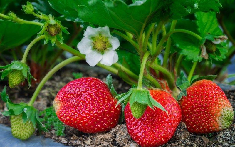 Правильный уход за клубничными грядками после плодоношения — залог будущего урожая